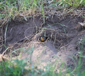 Yellow-rumped Pardalote nestled in ground