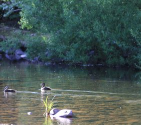 Ducks on the King River