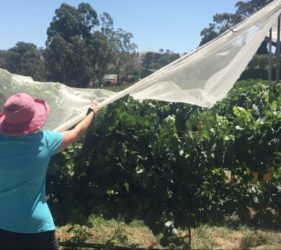 Leonie covering vines at Glen & Sarah Swaby's vineyard, Gumeracha
