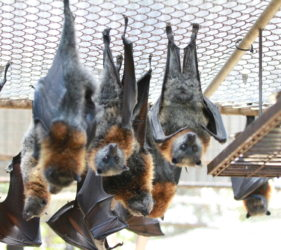 Bats just hanging around at Gorge Road Wildlife Park, Cudlee Creek