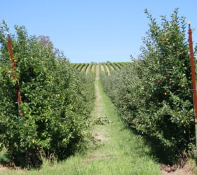 Apple orchards along Gumeracha to Lobethal Road