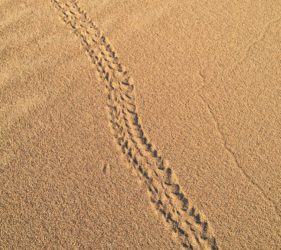 Interesting tracks made on the dunes at the Bamboos campsite (beetle or lizard?)