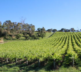 Vineyards at Gumeracha