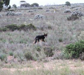 Wild dog on the Caiguna straight
